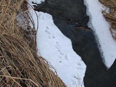 American Mink tracks