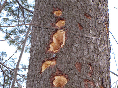 Pileated Woodpecker tree cavities