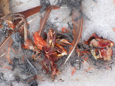 Northern Cardinal kill site - body parts
