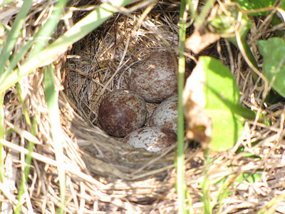 Savannah Sparrow - nest and eggs