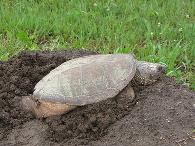 Common Snapping Turtle - digging nest and laying eggs