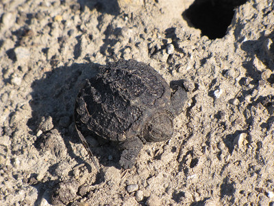 Common Snapping Turtle - recently hatched, nest exit hole nearby