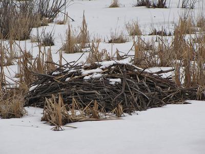Beaver - old lodge