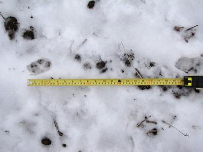 Coyote - tracks