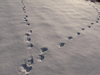 European Hare - tracks (left), Coyote - tracks (right)