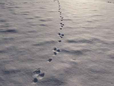 European Hare - tracks