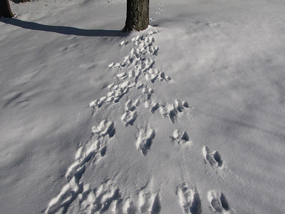 Eastern Gray Squirrel - tracks and trails, frequent trips back to tree from feeding area