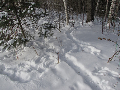 Eastern Cottontail - tracks and browse
