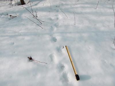 Raccoon - tracks and trail