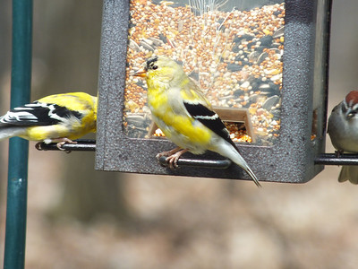 American Goldfinch - plumage transition from winter to summer