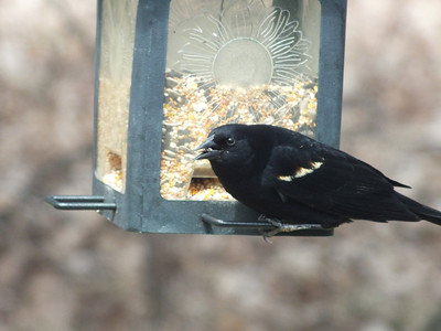 Red-winged Blackbird - male with red shoulder patch hidden except for yellow tip