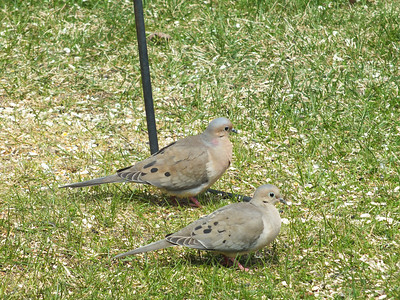 Mourning Dove - male (rear) & female (front)