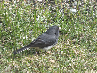Dark-eyed Junco - male