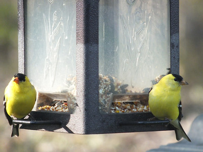 American Goldfinch - males