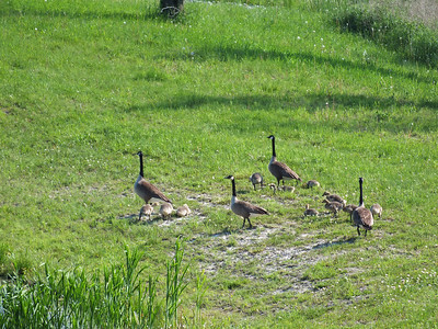 Canada Goose - adults and goslings