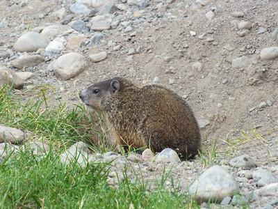 Woodchuck - juvenile near primary den entrance