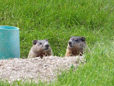 Woodchuck - juveniles near secondary den entrance