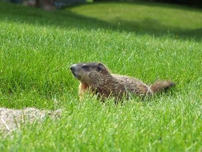 Woodchuck - juvenile near secondary den entrance