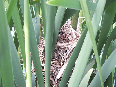 Red-winged Blackbird - side-view of nest woven into cattail leaves