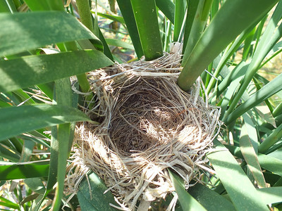 Red-winged Blackbird - nest, now empty due to predation of eggs by Common Grackle. A few days later the nest was dragged down by a Raccoon.