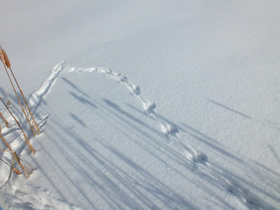 Muskrat - tracks and trail, a little exploration onto the snow covered ice