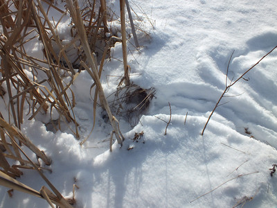 Muskrat - tracks and trail, unsuccessful attempt to get into pond