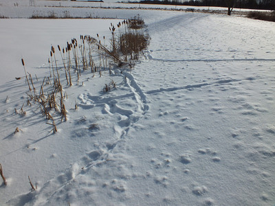 Muskrat - tracks and trail