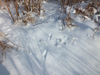 "Ermine - tracks and trail, trail width 2"""