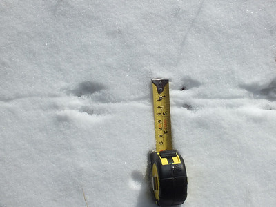 White-footed Mouse - trail width 1.5""
