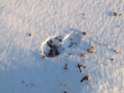 Mourning Dove - kill site