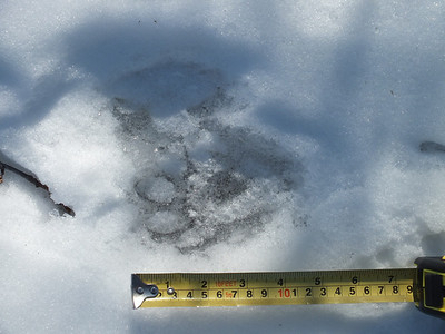 "Raccoon - track, at 4"" long was exagerated by at least .5"" from snow melt"