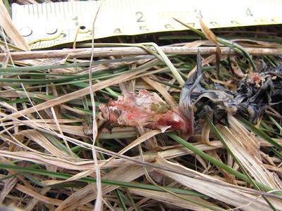 Meadow Vole - carcass left after predation by Northern Short-tailed Shrew