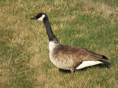 Canada Goose - possibly the Lesser subspecies