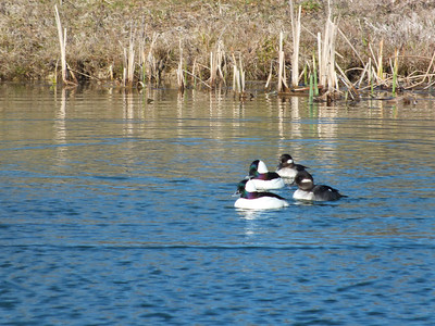 Bufflehead - male and female
