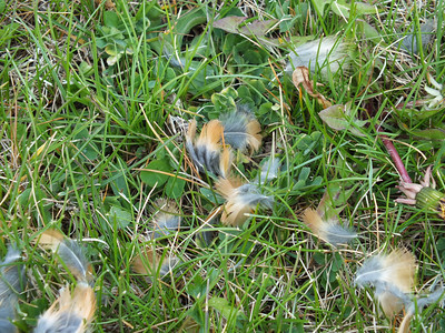 American Robin - feathers at kill site