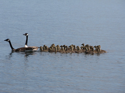 Canada Goose - pair of adults with 40 goslings! (not all from the same family)