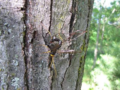 Parasitic wasp - Megarhyssa atrata?