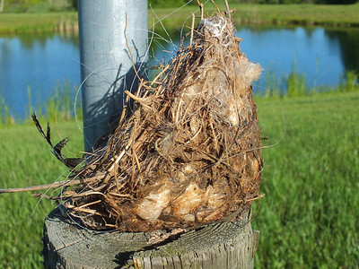 Eastern Kingbird - nest