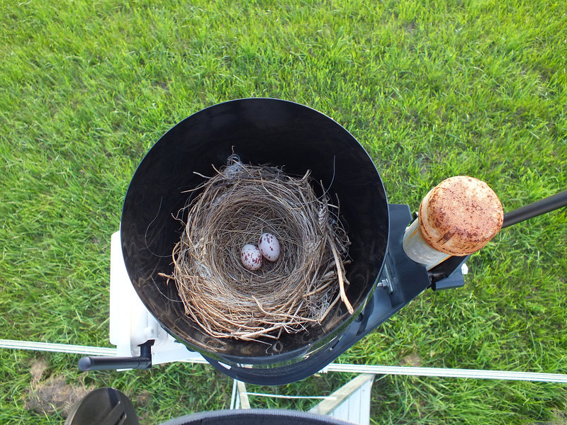 Eastern Kingbird - nest and eggs