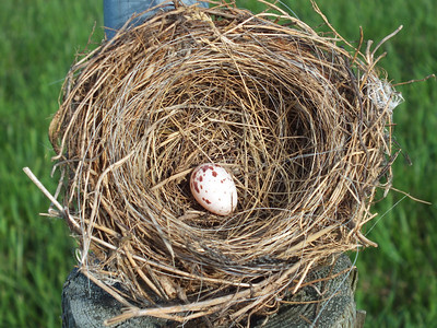 Eastern Kingbird - nest and egg