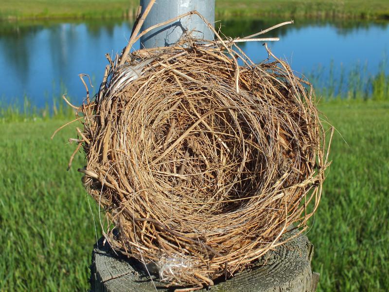 Eastern Kingbird - nest