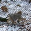 Bobcat & Canada Lynx