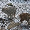 Canada Lynx & Bobcat