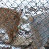 Bobcat & Canada Lynx - the Bobcat is urinating on the Canada Lynx