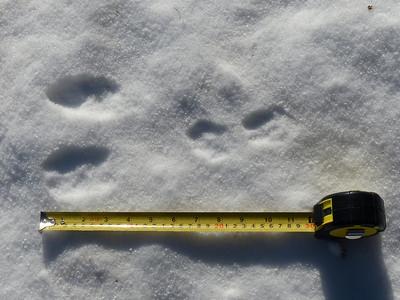 Snowshoe Hare -tracks