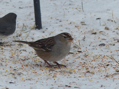 White-crowned Sparrow - juvenile