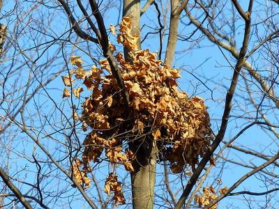 Eastern Gray Squirrel - nest