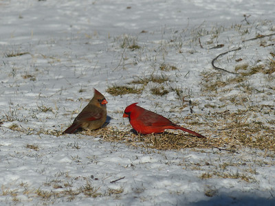 Northern Cardinal - female and male