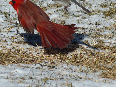 Northern Cardinal - male taking off