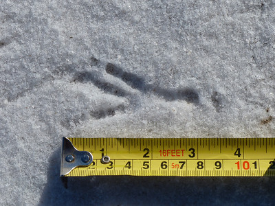 American Crow - track